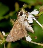 Sachem - Atalopedes campestris (female)