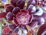 Aeonium arboreum 'Schwarzkopf'