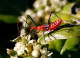 redbug1.jpg