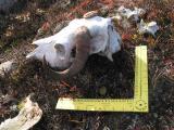 Musk Ox Headbone