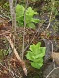 False Hellebore by the Stream