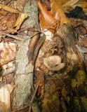 Craterellus cornucopioides and leaves