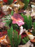 Red leaf and club moss