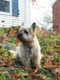 Cairns Terrier: Puppy Otis