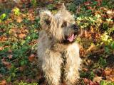 Cairns Terrier, Otis with autumn leaves