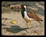 Red Wattled Lapwing October 2004