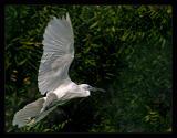 Little Egret November 2004