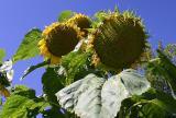 Sonnenblumen vor dem Haus