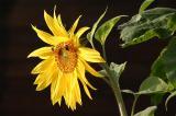 Sonnenblume hinter dem Haus