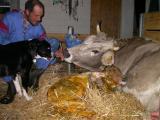Die Kuh Perle