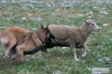 Tyra goes Herding