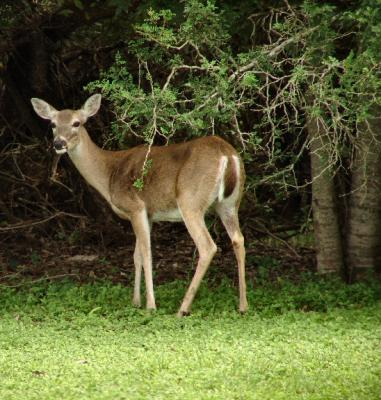 white- tailed deer