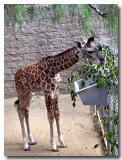 Baby Masai Giraff