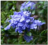 Blue Plumbago in March