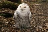 Snowy Owl (captive)