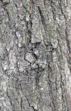Pear Tree Bark