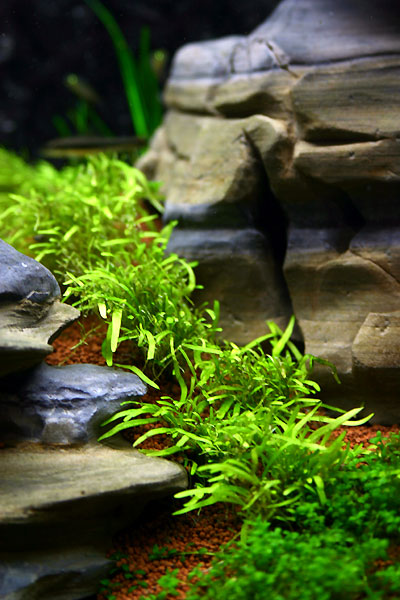 28th day - Utricularia sp.