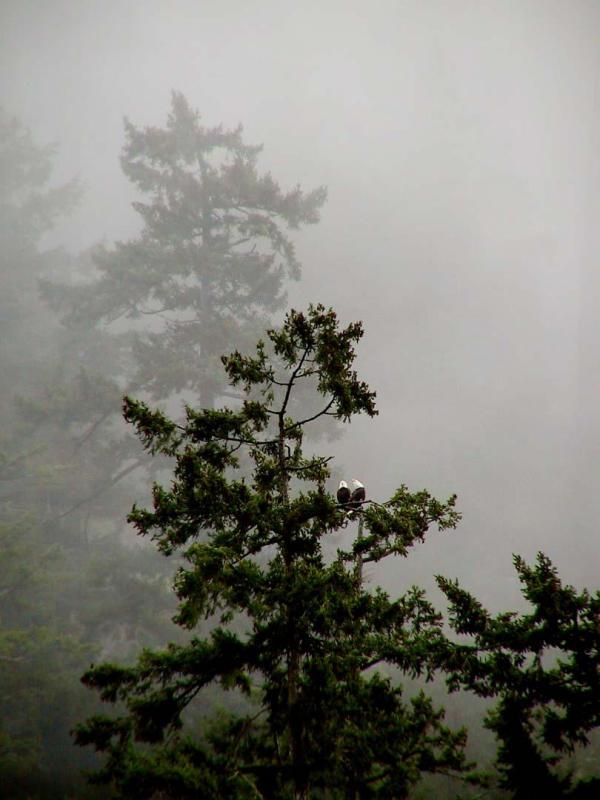 Eagles in the fog.jpg