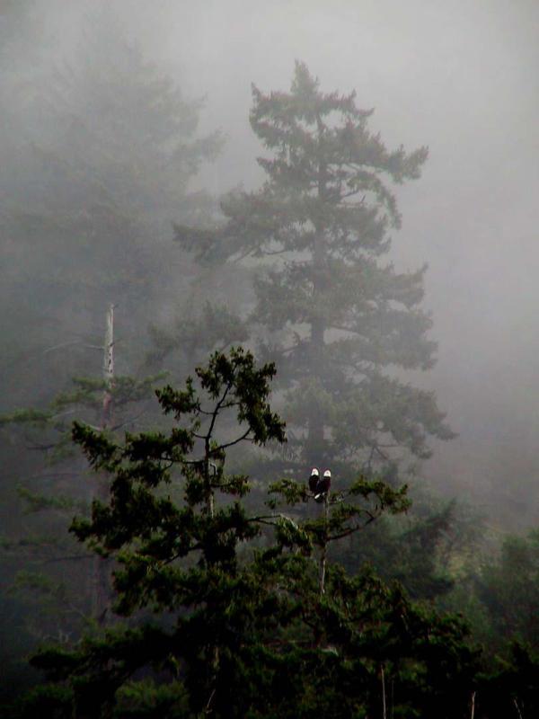 Eagles in the fog3.jpg