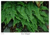 Just some ferns from the yard