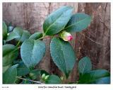 Colorful Camellia Bud