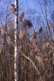 Birch and Cattails