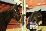 agnes in her new camptown harness halter/bridle with john henry