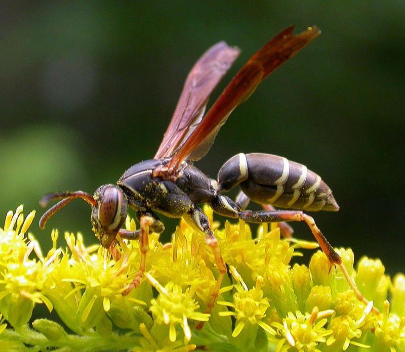 Paper wasp - <i>(Polistes fuscatus?) - 3