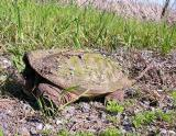 snapping turtle - 1