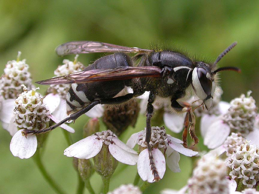 Bald-faced hornet  --  <i>Dolichovespula maculata</i>