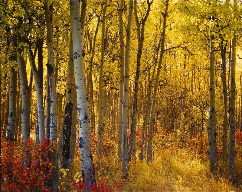 Aspens near Grande Prairie, Alberta