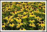 8/14/04 - Sunshine Susans