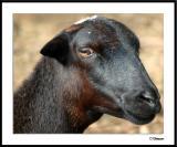 Suspicious Sheep