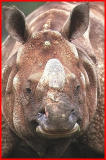 Male Indian Rhino.