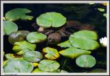Frog in pond-CRW_1257 copy.jpg