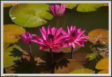 Pink Pads - CRW_1317 copy.jpg