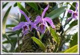 Purple Lillies - CRW_1303 copy.jpg
