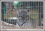 Tiger White - CRW_1362 copy.jpg