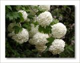 Viburnum opulus - snowball tree