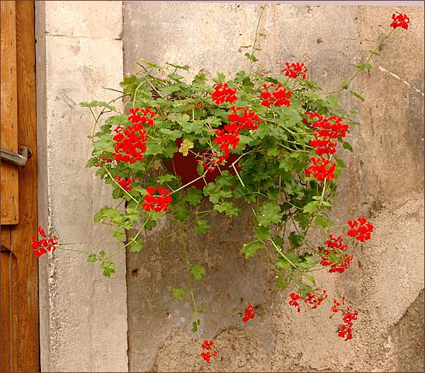 geraniums2.jpg