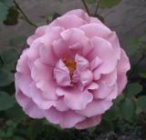 My Favorite Modern Roses II