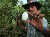 Cayman egg