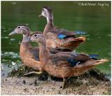 Wood Ducks Juveniles