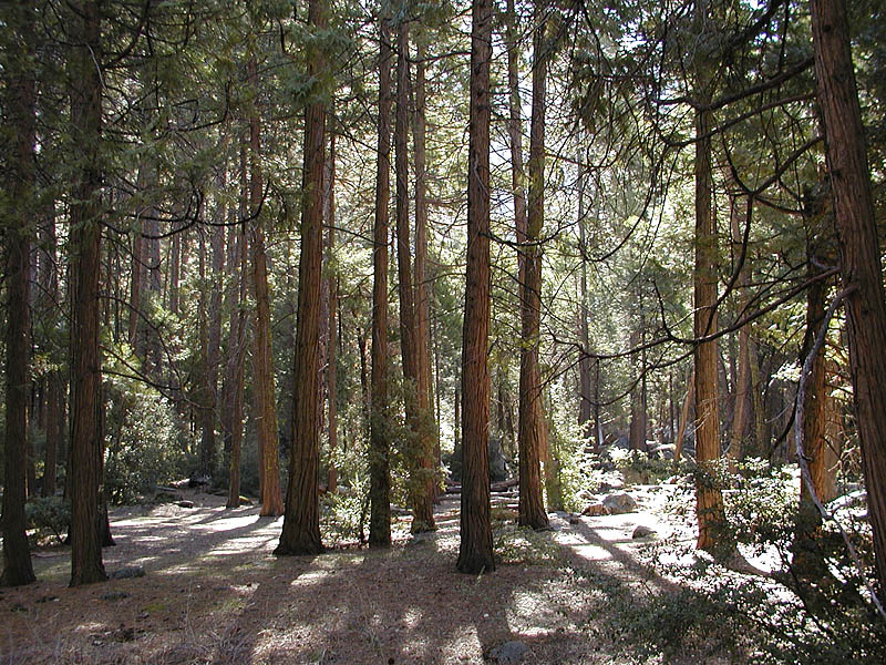 Pine and redwood forest