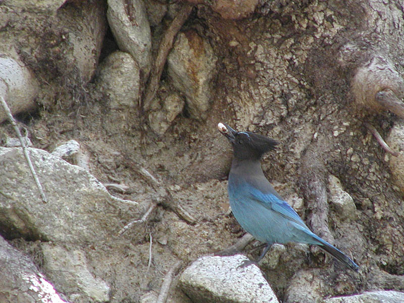 Stellers Jay with lunch
