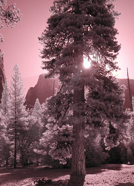 Pine tree and Half Dome (infrared)
