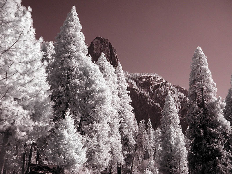 Pines (infrared)