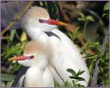 Cattle Egrets in Plume