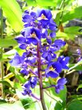 Blue Ginger with open petals