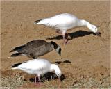 Ross', Cackling and Lesser Snow Goose